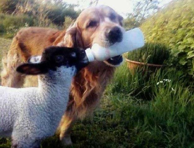 dog feeding lamb a bottle