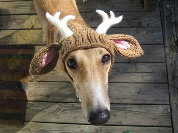 Dog dressed up as a reindeer.