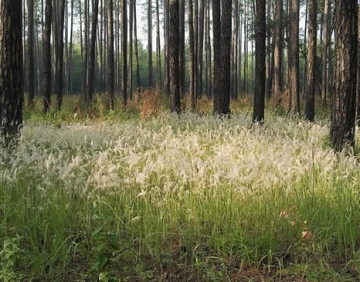 Cogongrass flowering in a Georgia forest (image courtesy Georgia Forestry Commission)
