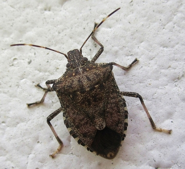 Stink bug invades georgia georgia public broadcasting for Cimice marrone