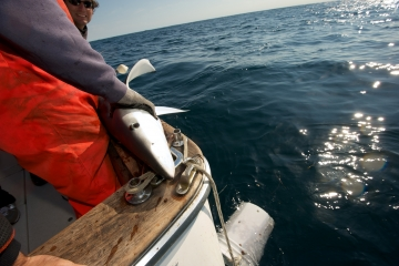 Capt. Art Gaeten holds a blue shark that was caught during a research trip in Nova Scotia. Scientists are studying the impact of swordfish fishing methods on the shark population.