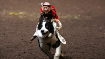 "A capuchin monkey riding a dog. Tim Lepard, owner and creator of the <a href=""http://www.teamghostriders.com/"">Monkey Rodeo</a>, says his animals are treated humanely."