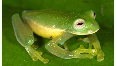 Image of the newest glassfrog from amphiaweb.org