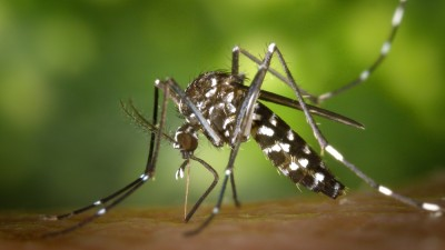 "Courtesy, <a href=""http://commons.wikimedia.org/wiki/File:CDC-Gathany-Aedes-albopictus-1.jpg"" target=""_blank"">Wikimedia</a>"