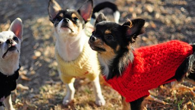 Dog sweaters aren't just cute, they do keep dogs warm by retaining body heat. Image via Flickr.com