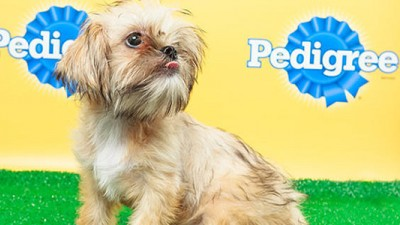 Poppy from Georgia's Shih Tzu & FurBabies Rescue is part of the starting line-up. (Image courtesy animalplanet.com.)