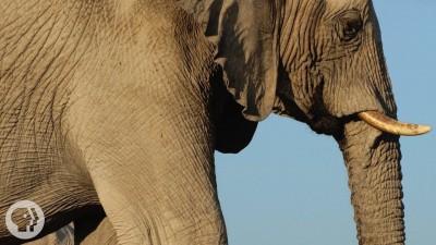 How Elephants Listen ... With Their Feet