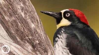 You'd Never Guess What an Acorn Woodpecker Eats
