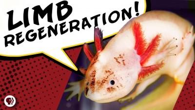 The Deadpool Salamander That Can Regrow Limbs