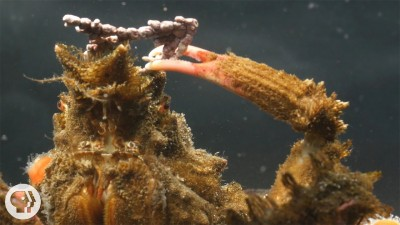 Decorator Crabs Make High Fashion at Low Tide