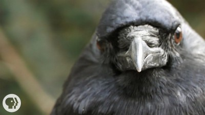 You've Heard of a Murder of Crows. How About a Crow Funeral?