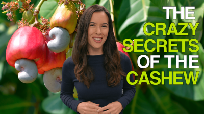 The Crazy Secrets of the Cashew