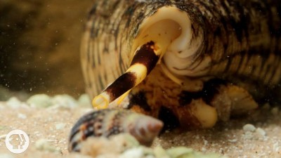 Watch These Cunning Snails Stab and Swallow Fish Whole