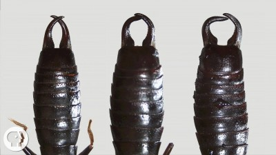 What Do Earwigs Do With Those Pincers Anyway?