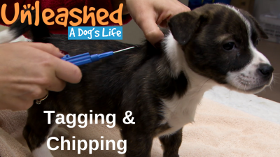 Tagging and Chipping Your Dog