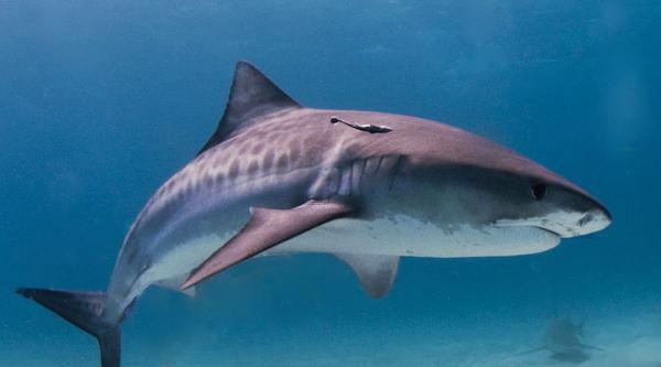 Tiger Shark: image via WikiCommons (Albert Kok)