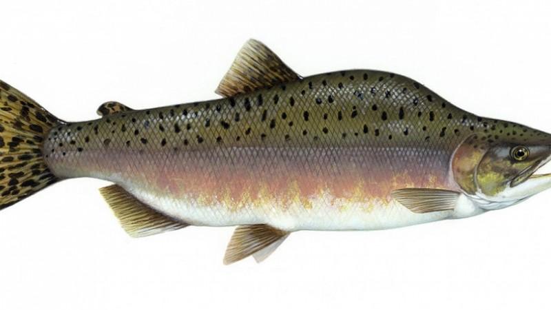 "Pink Salmon, Courtesy, <a href=""http://commons.wikimedia.org/wiki/File:Pink_salmon_FWS.jpg"" target=""_blank"">WIkimedia</a>"