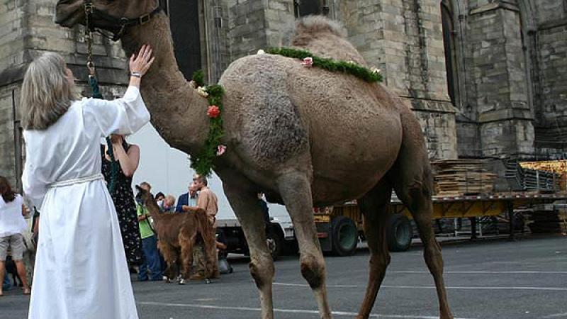 A camel is prepped to attend the pet blessing service at the Cathedral at Saint John the Divine.