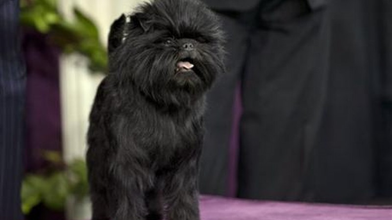 Banana Joe wins best in show at the 137th Westminister Dog Show. (Photo via AP)