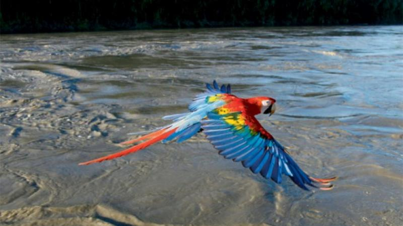 Scarlet Macaw in flight, Manu River, Peru (Courtesy Nature.)