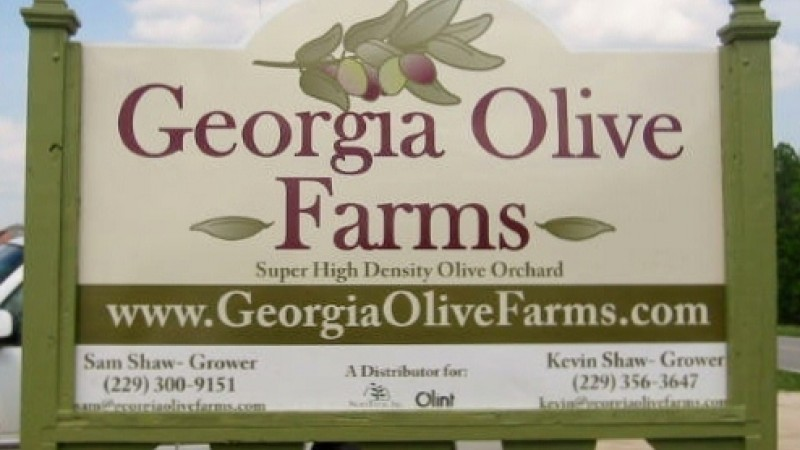 Georgia Olive Farms is Leading an American Emergence in Olive Oil Production