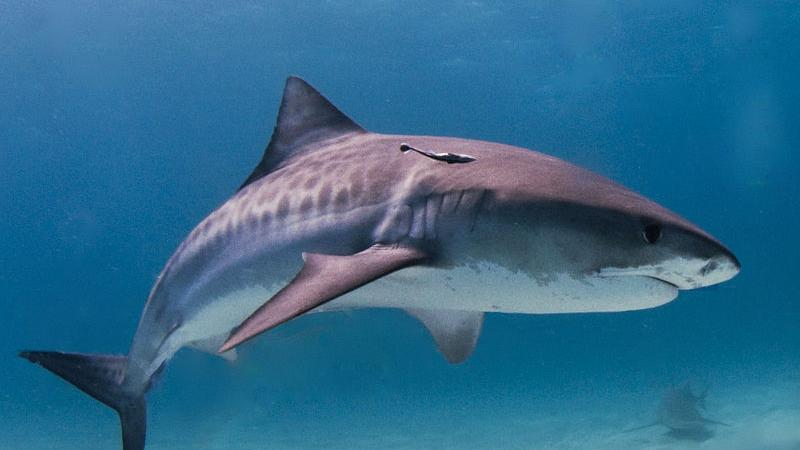 Tiger Shark: image via WikiCommons (Albert Kok)