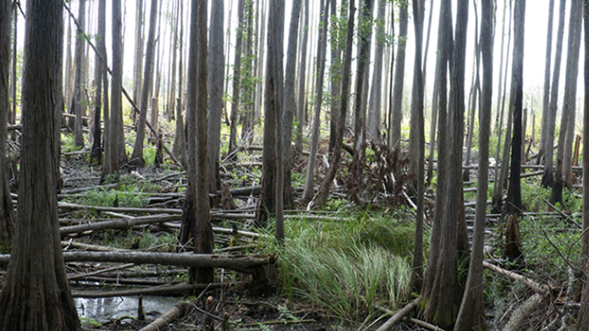 Photo of trees growing in a Georgia swamp